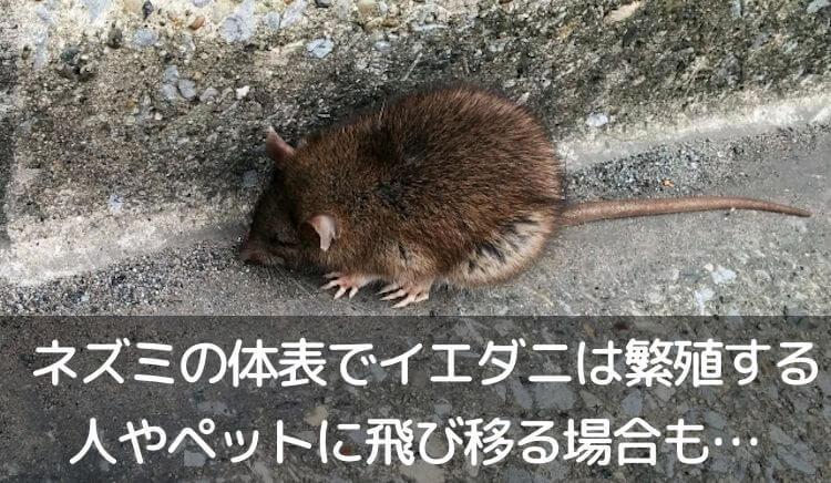 ネズミの体表でイエダニは繁殖する